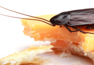 Roach On Cracker 300x210 Pest Control Myths Debunked