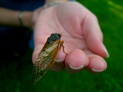Cicada On Hand