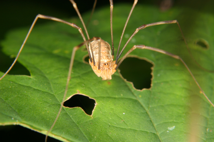 Daddy Longleg On Leaf