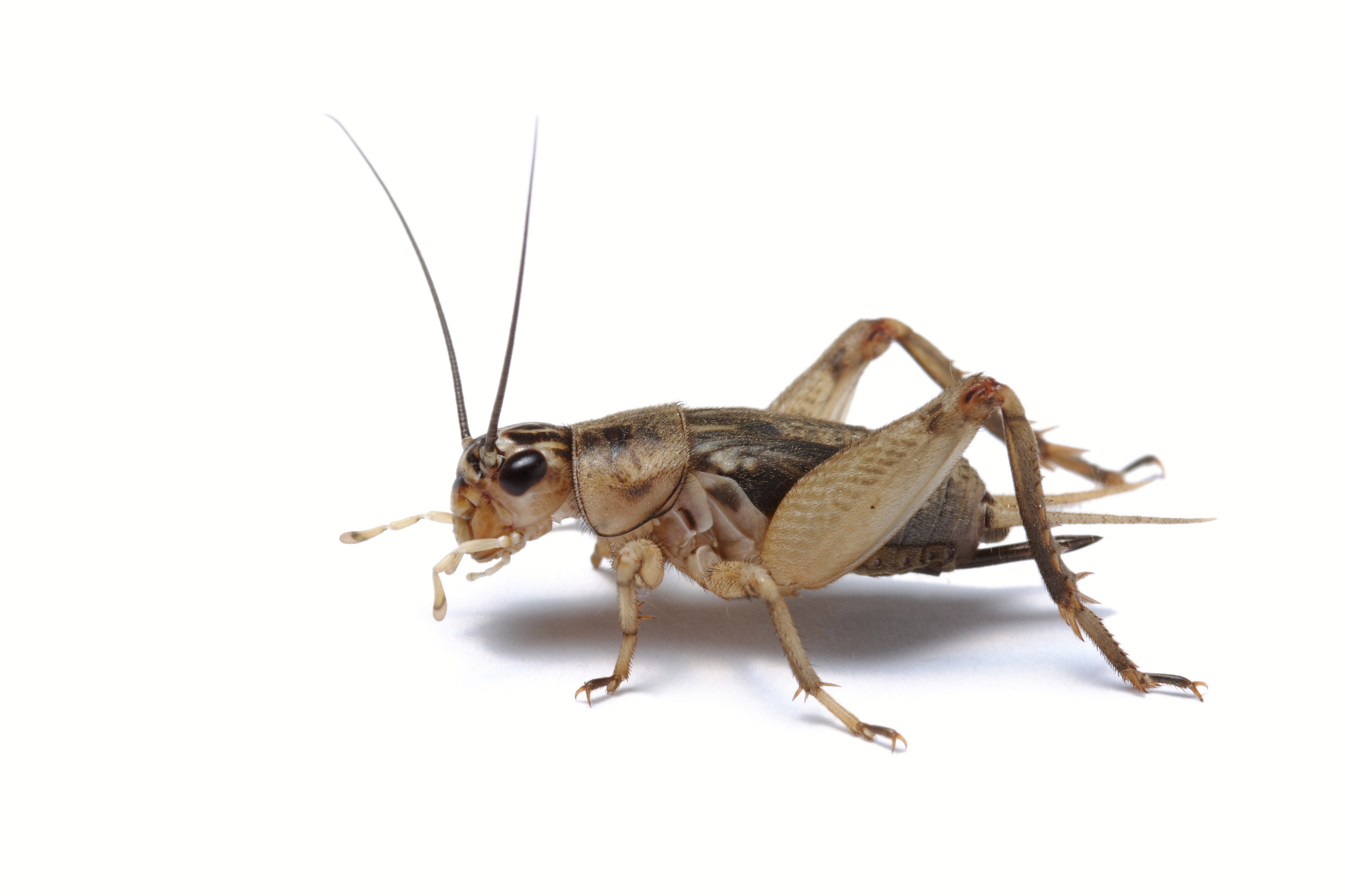 What Do Red And Black Crickets Eat 103
