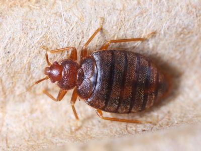 Bed Bug Up close How To Get Rid Of Bed Bugs