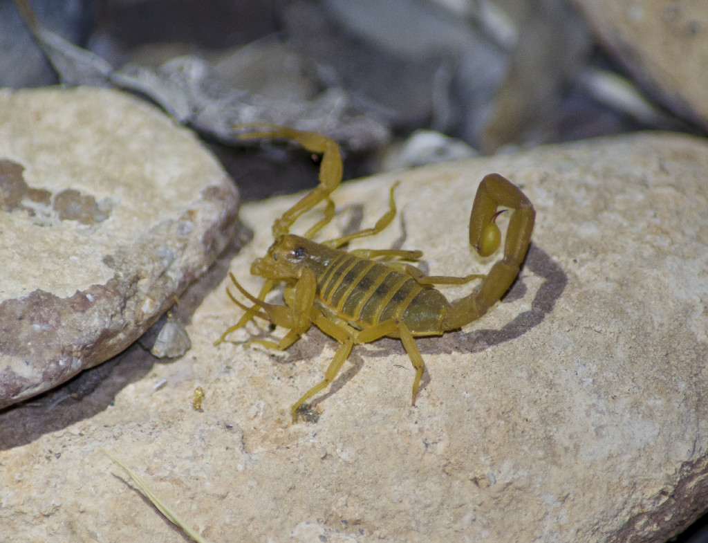Scorpion On Rock 2 1024x785 Stung By A Scorpion  How Do I Know?