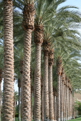 Arizona Palm Trees Fountain Hills Pest Control
